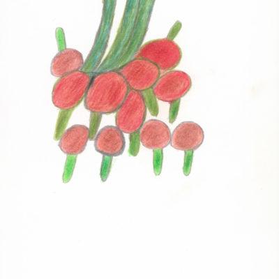 Rispentomaten / Tomatoes on the vine