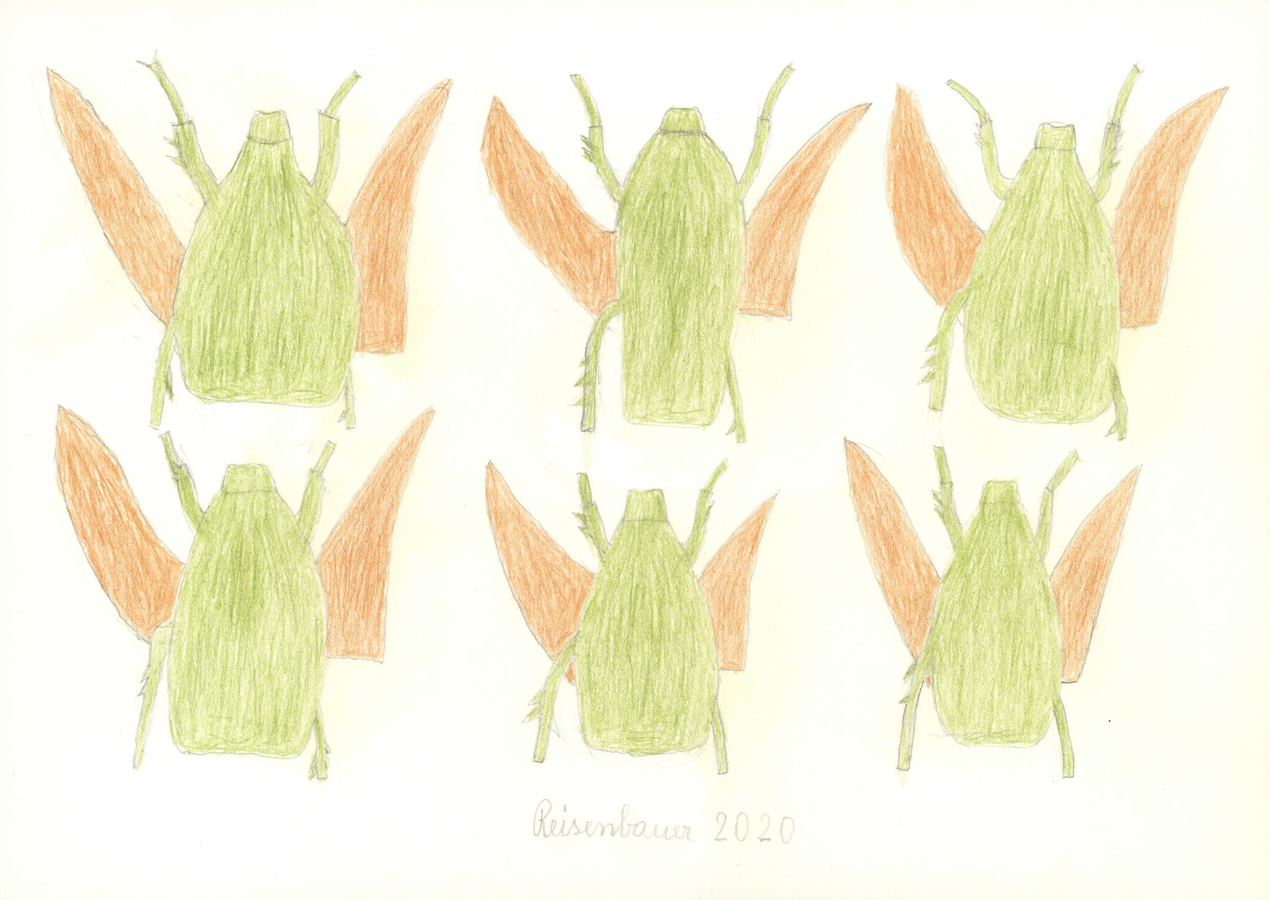 reisenbauer heinrich - Käfer / Beetle